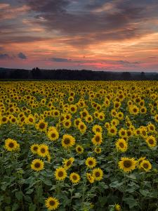 Sunflowers to the Sky by Michael Blanchette Photography
