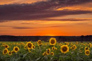 Sunset over Sunflowers by Michael Blanchette Photography