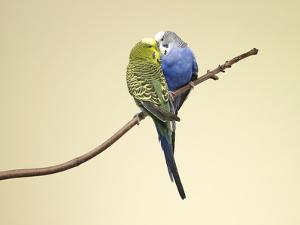 Two Budgies Kissing on a Branch by Michael Blann