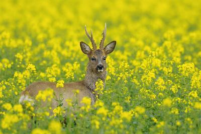 European Roebuck in Canola Field, Hesse, Germany