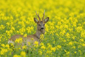 European Roebuck in Canola Field, Hesse, Germany by Michael Breuer