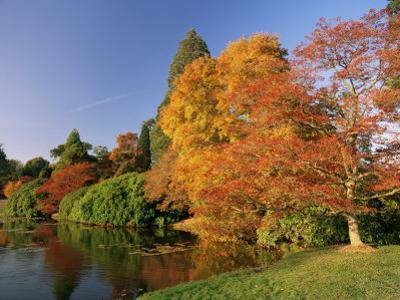 Acer Trees in Autumn, Sheffield Park, Sussex, England, United Kingdom