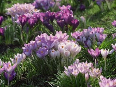Clumps of Mauve Crocus Flowers in Spring