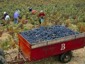 Harvesting Grapes in a Vineyard in the Rhone Valley, Rhone Alpes, France by Michael Busselle