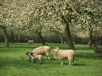 Sheep and Lambs Beneath Apple Trees in a Cider Orchard in Herefordshire, England
