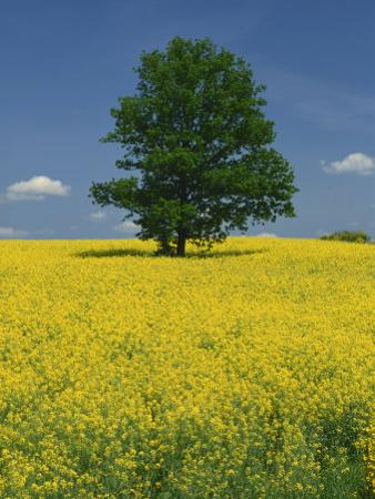 Single Tree in a Field of Oil Seed Rape in Flower Near Pontivy in Brittany, France, Europe