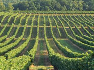 Vineyard Near Monbazillac, Dordogne, Aquitaine, France by Michael Busselle