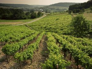 Vineyards Near Coiffy Le Haut, Haute Marne, Champagne, France by Michael Busselle
