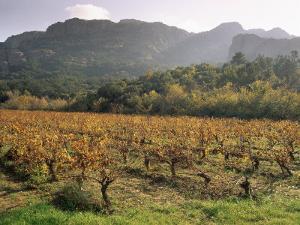 Vineyards Near Roquebrun Sur Argens, Var, Provence, France by Michael Busselle