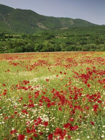 Wild Flowers Including Poppies in the Luberon Mountains, Vaucluse, Provence, France