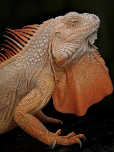Common Iguana (Iguana Iguana) Albino, Captive, From Central And South America by Michael D. Kern
