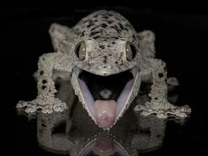 Mossy Leaf-Tailed Gecko, (Uroplatus Sikorae) Captive from Madgascar by Michael D. Kern