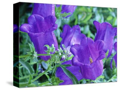 Campanula Medium (Canterbury Bells), Close-up of Violet Coloured Flowers