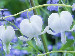 Dicentra Spectabilis Alba and Myosotis Sylvatica (Bleeding Hearts and Forget Me Not), White Flower by Michael Davis