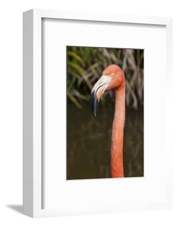 American Flamingo Bird, Gatorland Orlando, Florida, USA