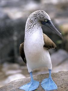 Blue-Footed Booby, Isla Espaola, Galapagos Islands, Ecuador by Michael DeFreitas