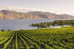 Grape Vines and Okanagan Lake at Quails Gate Winery by Michael DeFreitas