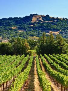 Grape Vines in Northern California Near Mendocino by Michael DeFreitas