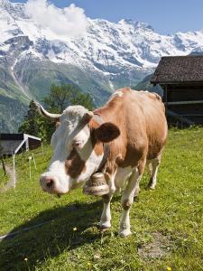 Jungfrau Massif and Cow Near Murren, Jungfrau Region, Switzerland, Europe by Michael DeFreitas