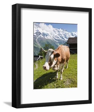 Jungfrau Massif and Cow Near Murren, Jungfrau Region, Switzerland, Europe