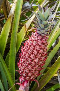 Pineapple Plants Dole Plantation, Wahiawa, Oahu, Hawaii by Michael DeFreitas