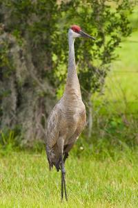 Sandhill Crane Bird, Everglades, Florida, USA by Michael DeFreitas