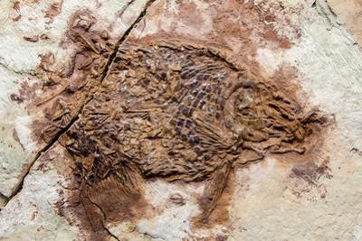 Semionotus Fish Fossil at Dinosaur Discovery, Johnson Farm, St. George, Utah