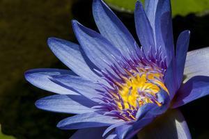 Water Lily in Na Aina Kai Botanical Gardens and Sculpture Park, Kauai, Hawaii by Michael DeFreitas