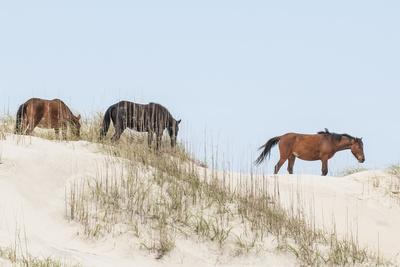 Wild Mustangs (Banker Horses) (Equus Ferus Caballus) in Currituck National Wildlife Refuge