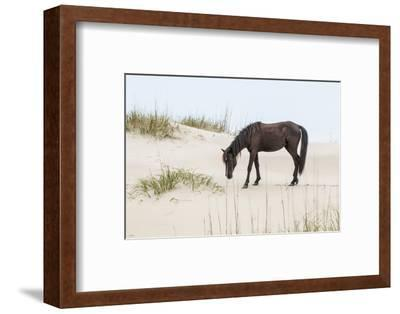Wild Mustangs in Currituck National Wildlife Refuge, Corolla, Outer Banks, North Carolina