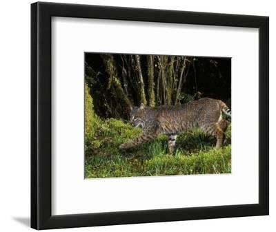 A Bobcat (Felis Rufus), Mount Hood National Forest, Oregon, USA