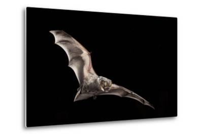 Male Hoary Bat (Lasiurus Cinereus) in Flight