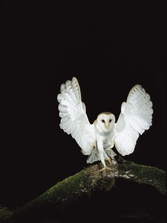 Barn Owl (Tyto Alba) on Tree Branch with Wings Spread, Sauvie Island Wildlife Area, Oregon