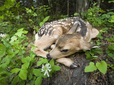 Mule Deer (Odocoileus Hemionus) Newborn Fawn Hides in the Forest, Siuslaw Nat'l Forest, Oregon