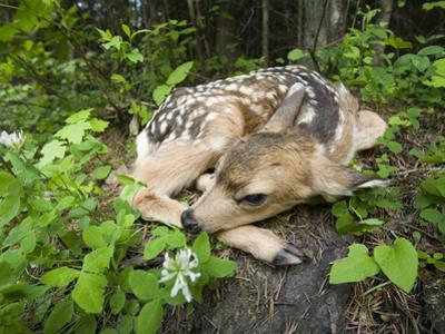 Mule Deer (Odocoileus Hemionus) Newborn Fawn Hides in the Forest, Siuslaw Nat'l Forest, Oregon by Michael Durham/Minden Pictures