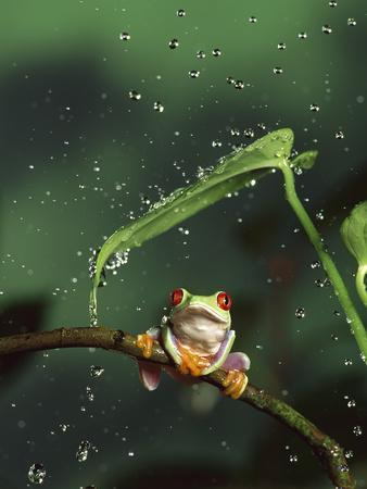 Red-Eyed Tree Frog (Agalychnis Callidryas) in Rain, Native to Central and South America