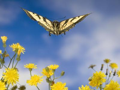 Western Tiger Swallowtail (Papilio Rutulus) Butterfly and Smooth Hawksbeard Flowers, Oregon