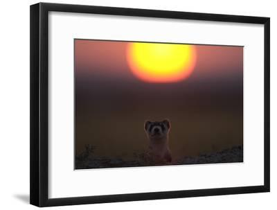 A Black-Footed Ferret, Mustela Nigripes, Peering from its Burrow at Sunset