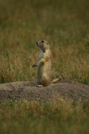A Black-Tailed Prairie Dog, Cynomys Ludovicianus, at the Entrance to its Burrow by Michael Forsberg