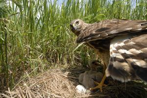 A Female Northern Harrier Hawk with Her Chick and an Egg in their Nest by Michael Forsberg