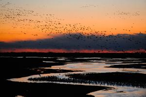 A Flock of Sandhill Cranes Migrate at Sunrise by Michael Forsberg