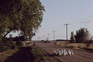 A Gaggle of Geese Walk Down a Country Road by Michael Forsberg