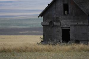 A Great Horned Owl Sits in a Window in an Old Barn by Michael Forsberg
