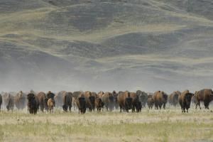 A Herd of American Bison, Bison Bison, in a Hilly Grassland Landscape by Michael Forsberg