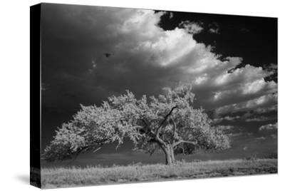 A Lone Siberian Elm Tree Sits on a Rocky Hilltop