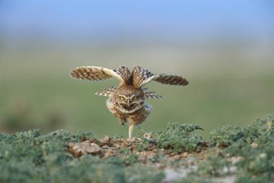 A Male Burrowing Owl Stretches Outside of its Nest Burrow