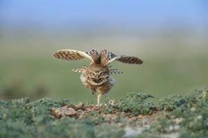 A Male Burrowing Owl Stretches Outside of its Nest Burrow by Michael Forsberg