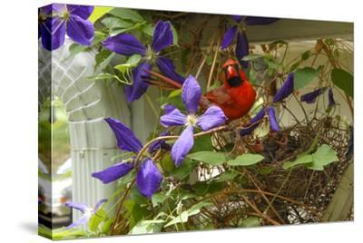 A Male Northern Cardinal, Cardinalis Cardinalis, at its Nest with Chicks in a Clematis Vine