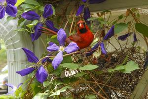 A Male Northern Cardinal, Cardinalis Cardinalis, at its Nest with Chicks in a Clematis Vine by Michael Forsberg