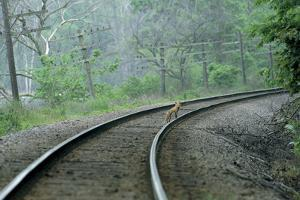 A Red Fox Stands on Train Tracks in the Forest by Michael Forsberg